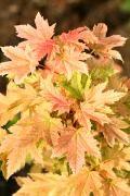 Acer pseudoplatanus 'Puget Pink' Klon jawor 'Puget Pink'