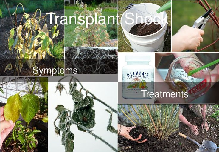 Transplant Shock Symptoms and Treatment  1)Boil water with 3 tablespoons sugar and allow it to cool. Apply this solution to the roots at transplanting time. It will act as a transplant shock preventer. 2)Plants can be treated with aspirin water as it is beneficial for plant's health. It also acts as an immune system booster for crops. 3)Compost tea mixed with water can be used to water the plants. It is another effective remedy to treat transplant shock.