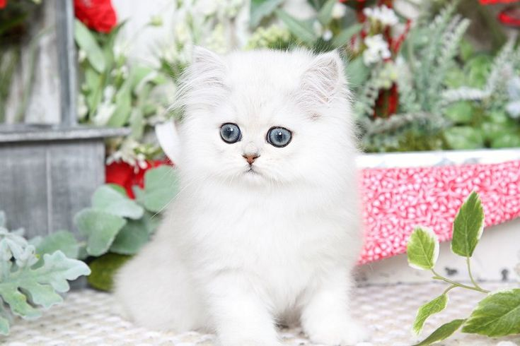 Cinderella - Click Here - Ultra Rare Persian Kittens For Sale - (660) 292-2222 - Located in Northern Missouri (Shipping Available)Ultra Rare Persian Kittens For Sale – (660) 292-2222 – Located in Northern Missouri (Shipping  Available)