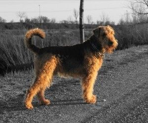 10 best images about Dogs Airedale Terrier on Pinterest  Airedale terrier, I want and Animals