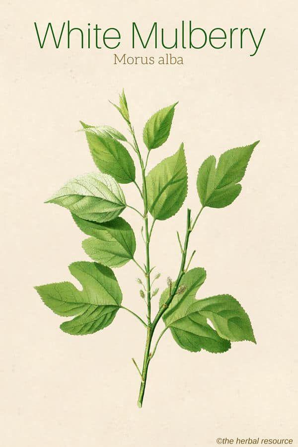 White Mulberry Morus Alba Herb Uses Heatlth Benefits