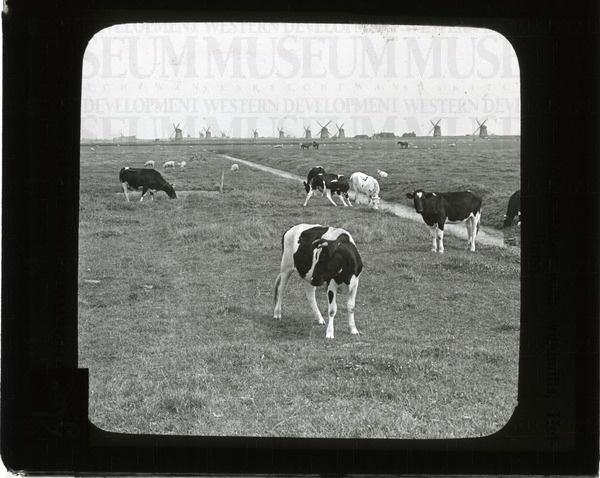 Peaceful pastures with windmills, Holland | saskhistoryonline.ca