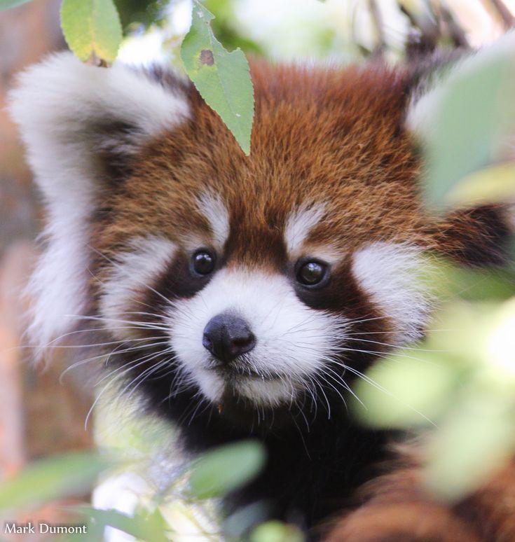 Baby red panda cute