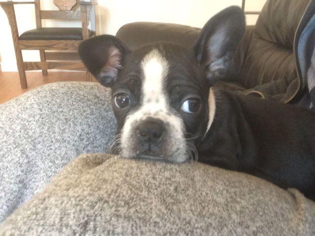 French Bulldog/Boston Terrier (Frenchton) | dogs, puppies ...