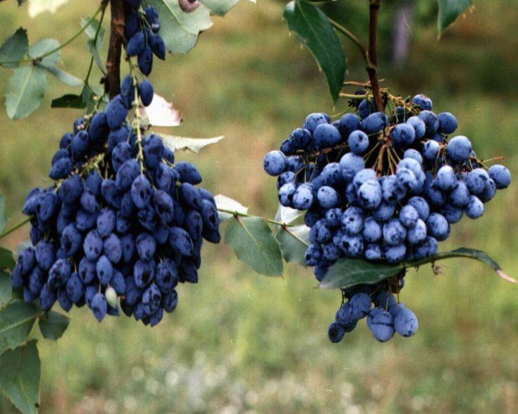 Giftige planten! -blauwe monnikskap -aronskelk -witte paardenkastanje -wolfskers -zuurbes -St-Jozefplant -stinkende gouwe -herfsttijloos -meiklokje - vlakke dwergmispel -rood peperboompje -treurvijg -kerstroos -kardinaalsmuts - wolfsmelk - sporkehout - kliop -hulst - jeneverbes - goudenregen - liguster -kamperfoelie -paasbloem - sleutelbloem - vuurdoorn - laurier kers - skimmia ....