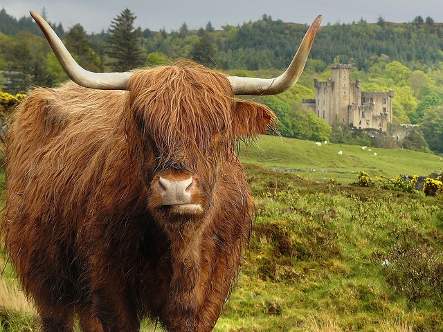 Scotland has the cutest cows...: Scottish Highlanders, Highlanders Cows, The Roads, Skye Scotland, Scotland Castles, Photo, Travel Guide, Dunvegan Castles, Isle Of Skye