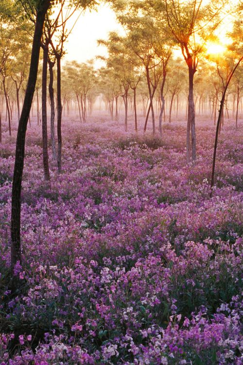 expressions-of-nature:  Sea of Flowers | NesfrutaLordszxc