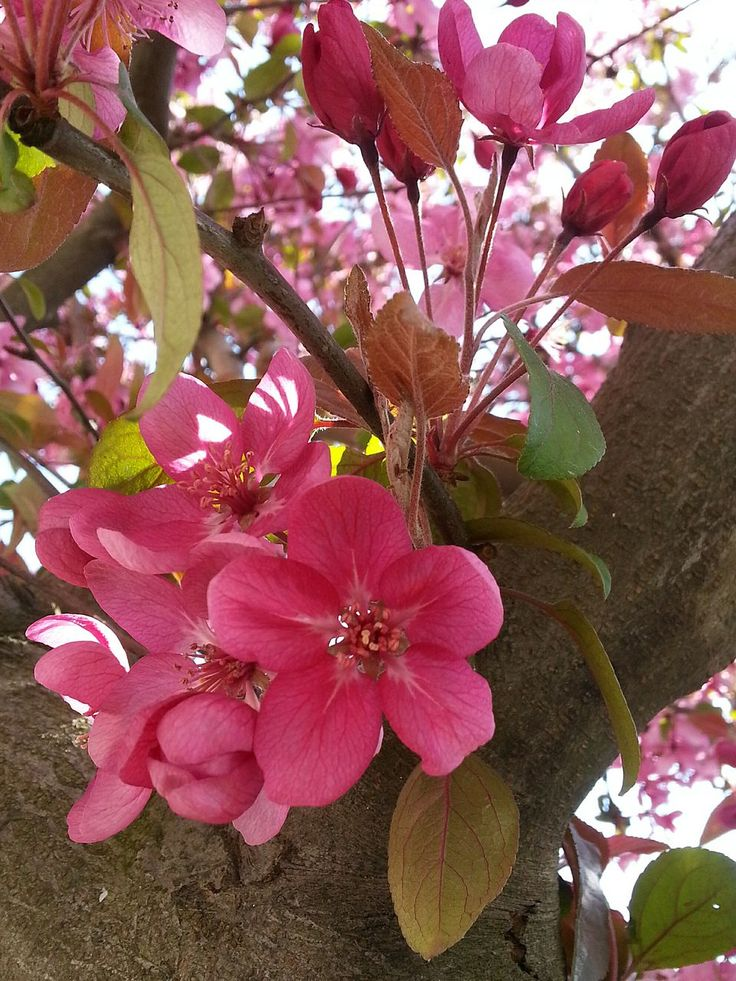 flower, petal, growth, fragility, pink color, nature, beauty in nature, freshness, flower head, no people, blooming, day, plant, outdoors, springtime, leaf, close-up, branch, tree, periwinkle