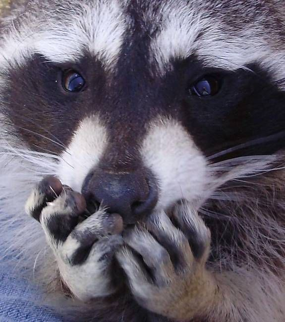 """so cute! What the raccoon is really saying """"I didn't eat anything out of your garden""""!"""