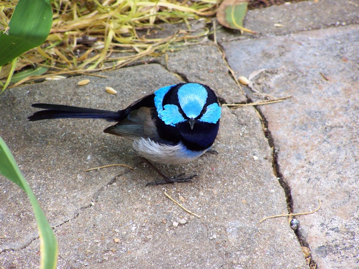 Superb Fairy Wren spotted by Kevin Collins of St Kilda, South Australia. Thank you Ken for the great picture. @cityofsalisbury #birds #birdwatching