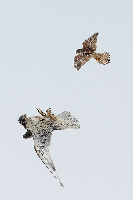 Gyrfalcon & Merlin (Birds of Prey, Falcons)