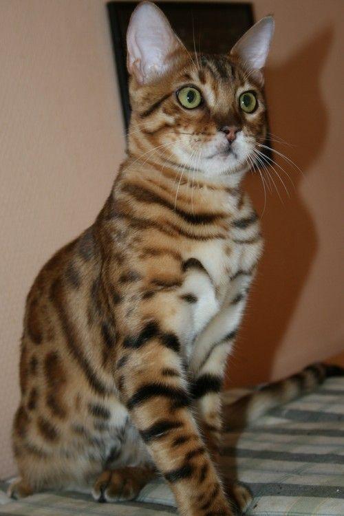 chat bengal ventre blanc et rosettes - Chaton Bengal Gratuit