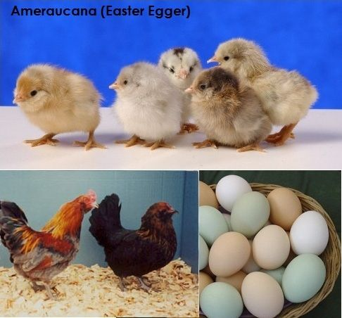 The Easter Egger Chicken, lays a pale blue egg & has a sweet disposition; fun to have a little color in life!
