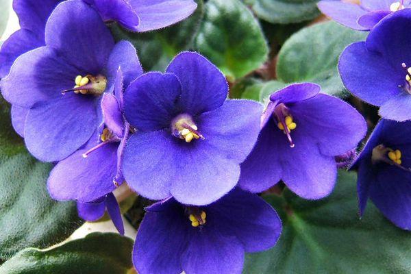 Como cuidar de violetas! - Lar Natural