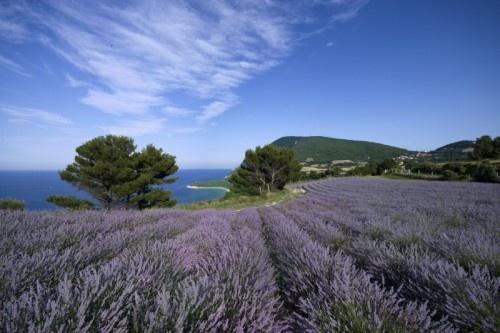 Le Marche, lavender