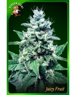 We offer cheap prices for Juicy Fruit Feminized marijuana seeds. We process all orders of our marijuana seeds for sale in Canada the same day we receive full payment. #ink #tattoos #inked #art #tattooed #love #tattooartist #instagood #tattooart #fitness #selfie #fashion #artist #follow #photooftheday