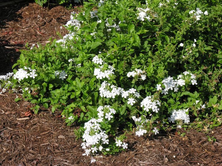 White Plumbago Florida Native Shade Butterfly Ifas Ufl