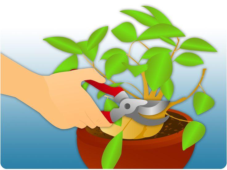 How to Prune a Ficus Tree -- via wikiHow.com