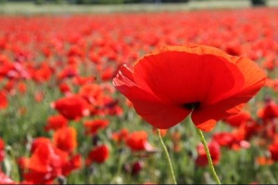 Lest we forget ANZAC day 25th of April Red poppy