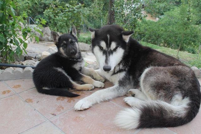 Preciosa cachorrita hija de husky siberiana y pastor aleman necesita hogar. No tarde que es la última... #adoptar #mascotas #adopcion #perros #gatos