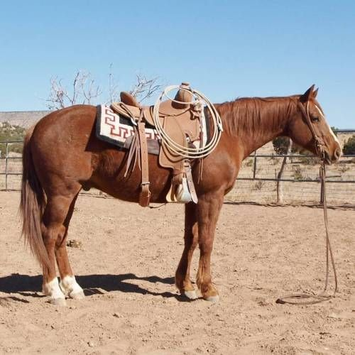 Great Ranch Versatility or Ranch Horse Gelding for Sale (VIDEO ON AD) - For more information click on the image or see ad # 32255 on www.RanchWorldAds.com