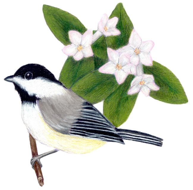 Machusetts State Flower Bird And Adee Parus Atricas