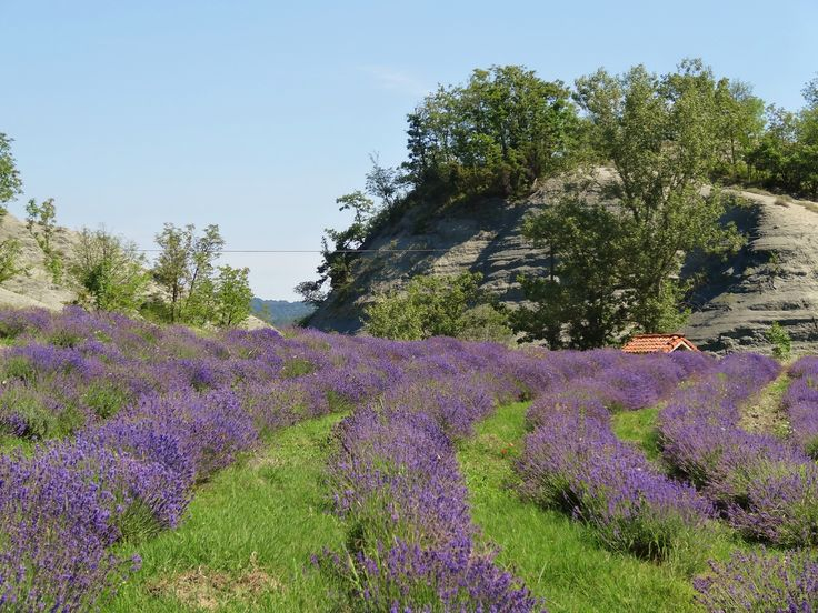 One of our lavender fields - Agriturismo Verdita, a little piece of Italian paradise - www.verdita.com