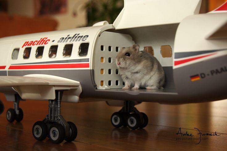 Bildergebnis für hamster im flugzeug