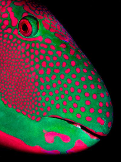 Credit: Michael Gallagher/ZSL Animal Photography Prize 2013 Parrotfish portrait, by Michael Gallagher, adult highly commended in the deep and meaningful category