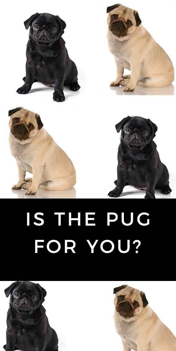 A Look At The Black Pug Dog Is It The Right Breed For You Pug
