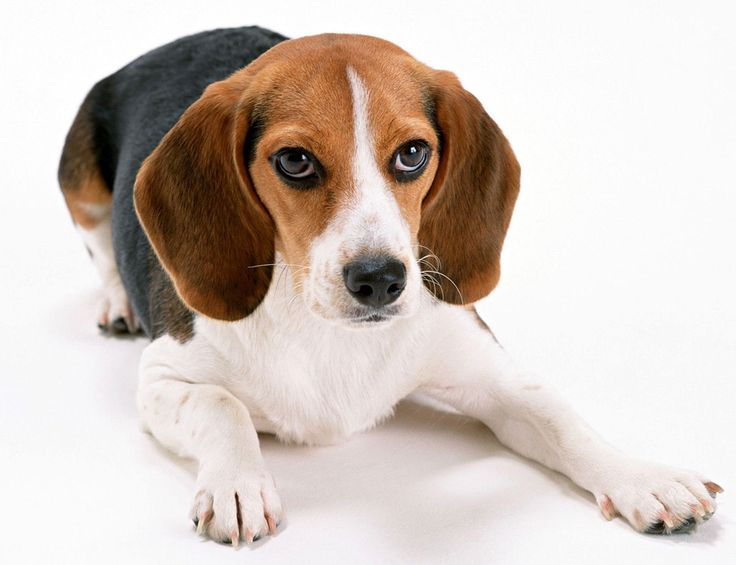 Google-Ergebnis für http://www.letocar.com/wp-content/uploads/2012/03/beagles.jpg