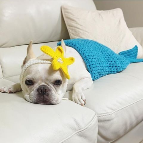 Mermaid Frenchie French Bulldog