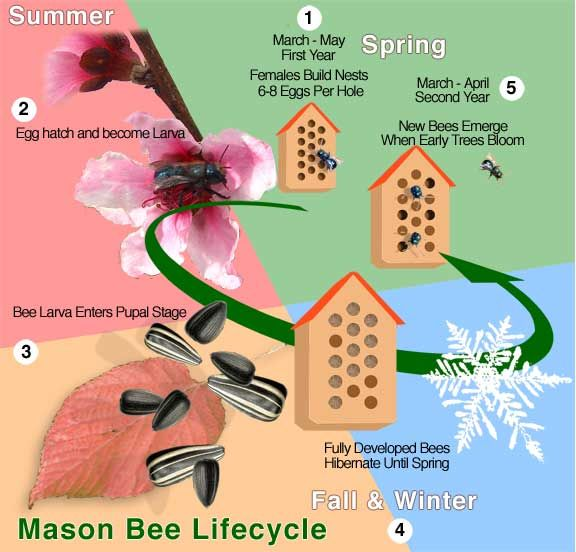 Exploring the diverse world of Pollination - Mason Bee Lifecycle - Call A1 Bee Specialists in Bloomfield Hills, MI today at (248) 467-4849 to schedule an appointment if you've got a stinging insect problem around your house or place of business!