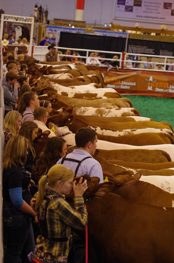 Livestock at RODEOHOUSTON