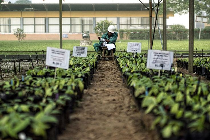 A worker takes samples inside a greenhouse in Nestlé's R&D center in…