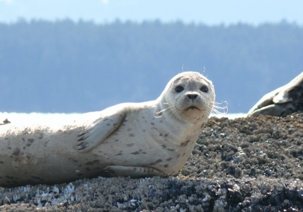 Pup, Seal Island, Nanaimo.  Go dive with them!!!