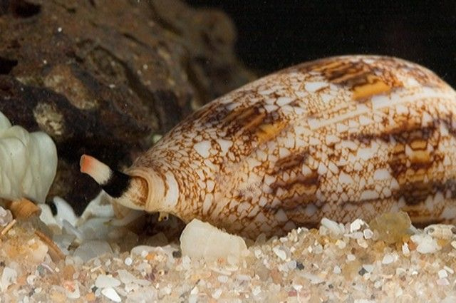 Cone Snail Pain Killers Could be 100 Times As Effective As Morphine~~tko