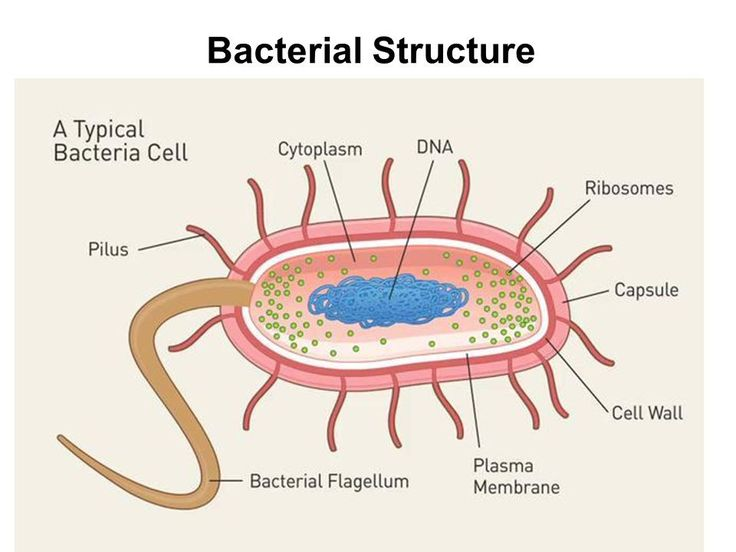 label the bacterial cell key new unit 1 cells and cell on cell wall function id=30667