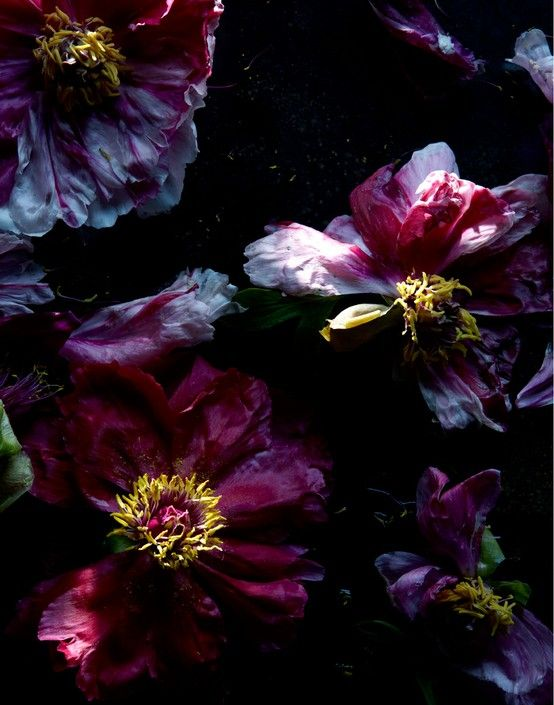 ❈ Fleurs Foncées ❈ dark art photography flowers & botanical prints - peonies