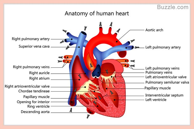 best 25 human heart diagram ideas on pinterest heart. Black Bedroom Furniture Sets. Home Design Ideas
