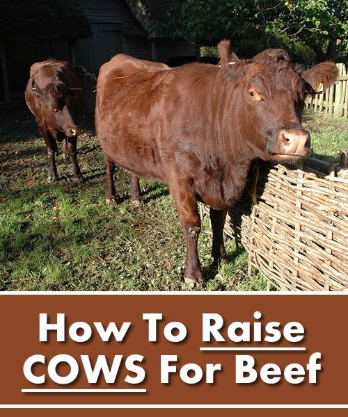 How To Raise Cows For Beef - on your homestead... #homesteading