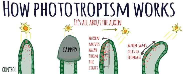 phototropism - auxin