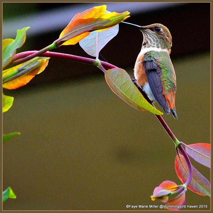 Magnolia Violeta Hummingbird, Colorful birds, Beautiful