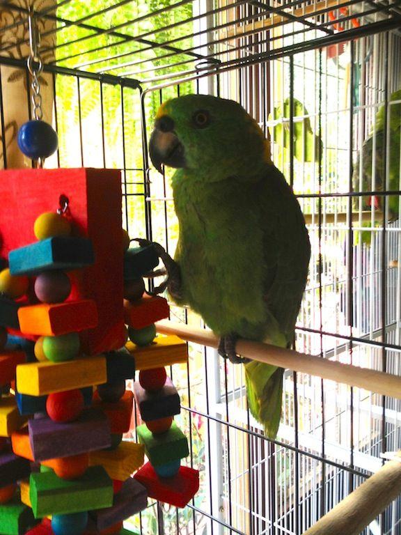 Zadkiel the parrot! (Kira's parrot rescue -- pretty boy!)