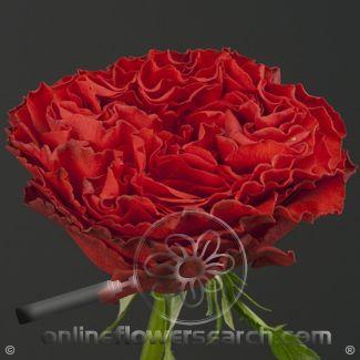 rose Samarcanda - Tìm với Google