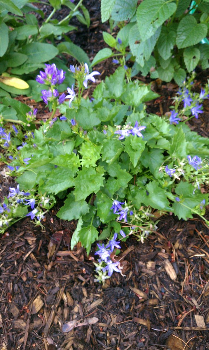 June 27: Campanula poscharskyana 'Blue Waterfall' (Siberian bellflower)