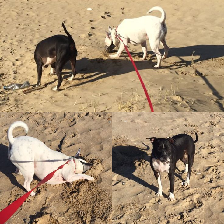 Whooftastic Holiday Fun for Dodger & Shea today on the beach at Camber Sands www.dodgerdog.co.uk #dogfriendlybeach #dodgerdog