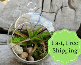 Tillandsia Air Plants Terrarium Kit Plant от AGiftofNature на Etsy