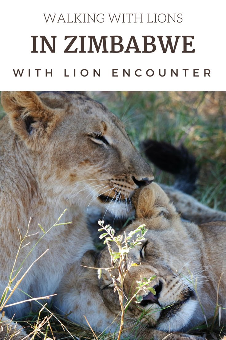 Walking with lions in Zimbabwe with Lion Encounter!