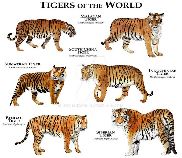 Types Of Tigers | www.pixshark.com - Images Galleries With